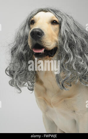 yellow Labrador dog in a wig - Stock Photo