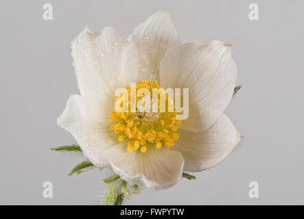 White pasqueflower, Pulsatilla vulgaris 'Alba' ornamental perennial plant flower in early spring - Stock Photo