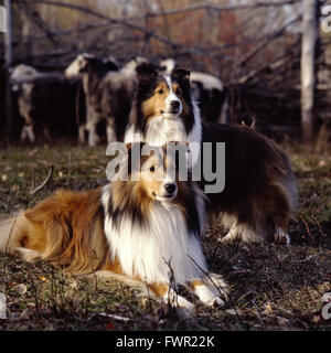 two shelties, one lying on the grass the other one standing behind, in front of little herd of sheep in the late - Stock Photo
