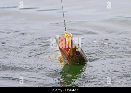 Hooked Northern pike (Esox lucius) in lake caught with lure on a fishing line - Stock Photo