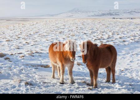 Two Icelandic horses (Equus ferus caballus / Equus Scandinavicus) in the snow in winter on Iceland - Stock Photo