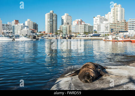 Maldonado, April, 22, 2013 - Seal lying in the sun in front of the yacht club in Punta del Este harbor, Uruguay - Stock Photo