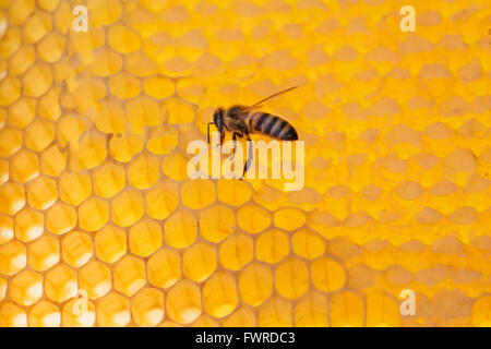 working bee on honeycomb with honey, on a sunny day - Stock Photo