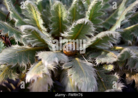 meconopsis foliage leaves hairy spring growth growing shelter snail garden gardening RM Floral - Stock Photo