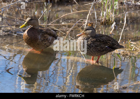 Mexican Duck, (Anas diazi), pair at Bosque del Apache National Wildlife Refuge, New Mexico, USA. - Stock Photo