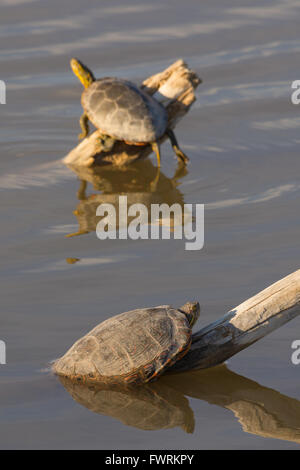 Big Bend Slider, (Trachemys gaigeae gaigeae) and Western Painted Turtle, (Chrysemys picta bellii), basking.  New - Stock Photo