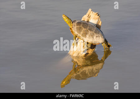 Western Painted Turtle, (Chrysemys picta bellii), basking at Bosque del Apache National Wildlife Refuge, New Mexico, - Stock Photo