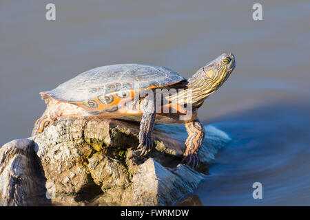 Big Bend Slider, (Trachemys gaigeae gaigeae), basking at Bosque del Apache National Wildlife Refuge, New Mexico, - Stock Photo