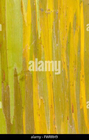 Rainbow Eucalyptus tree on Maui - Stock Photo