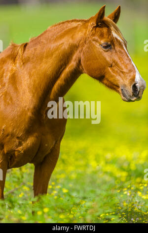 Horse standing in pasture on Maui - Stock Photo
