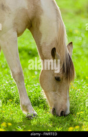 Horse grazing in upcountry  pasture on Maui - Stock Photo