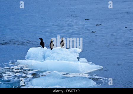 Common murres or guillemots (Uria aalgae) sitting on iceberg in Jökulsarlon Lagoon, Iceland - Stock Photo