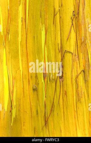 Rainbow Eucalyptus tree, Maui closeup trunk - Stock Photo