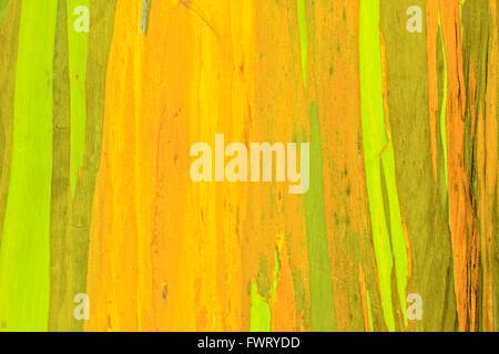 Rainbow Eucalyptus tree bark closeup Maui - Stock Photo