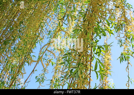 The Green Spring Leaves Of A Willow Tree Isolated On White Studio