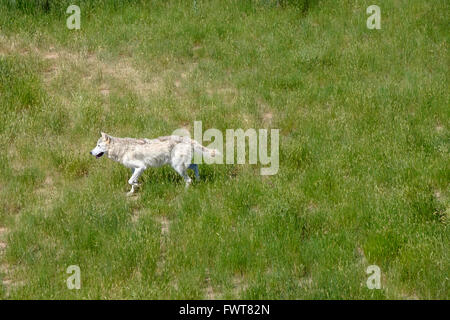 A grey wolf roams in his enclosure at the Wild Animal Sanctuary in Keenesburg, Colorado. - Stock Photo