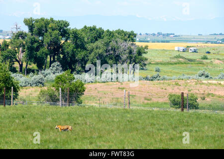 A tiger roams in his enclosure at the Wild Animal Sanctuary in Keenesburg, Colorado. - Stock Photo