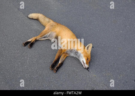Vulpes vulpes dead after a car accident - Stock Photo