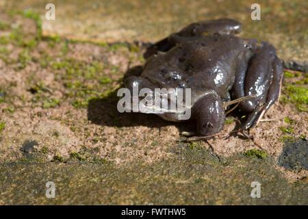 Common frog (Rana temporaria) also European common frog on stone slab is a semi-aquatic amphibian of the family - Stock Photo