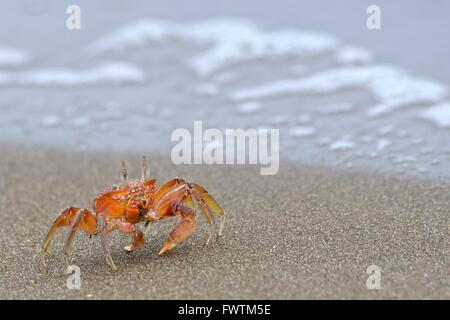 Red crabs or ghost crab (ocypode sp). Isla de la Plata is a small island off the coast of Manabí, Ecuador, and is - Stock Photo