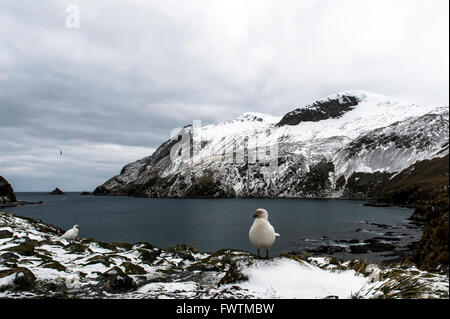 Snowy Sheathbill (Chionis albus) with snow-capped mountains in the background Elsehul, South Georgia - Stock Photo