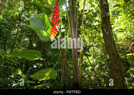 General plane of the Amazon jungle and primary forest with a close up of a heliconia near Iquitos, Amazonian, Loreto, - Stock Photo