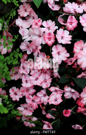 Impatiens x hawkeri or known as Impatiens, New Guinea, Infinity Pink Frost - Stock Photo