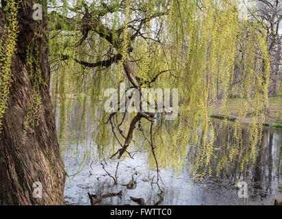 Weeping Willow tree (Salix Babylonica) on the edge of The Pool in Central Park, New York, in Spring. - Stock Photo