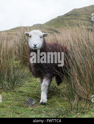 Herdwick sheep in Borrowdale, Lake District, Cumbria, England, UK (identifying marks digitally removed from ear - Stock Photo