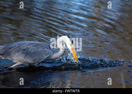 Grey Heron feeding at the Welsh Wildlife centre - Stock Photo