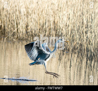 Grey Heron in flight at the Welsh Wildlife centre - Stock Photo