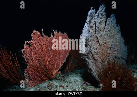 Isolated fans of gorgonian corals (Gorgonian and Blueberry Sea Fans) growing on a seabed, North Male Atoll, Maldives - Stock Photo