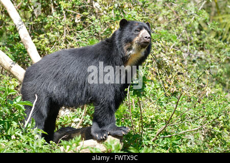 Andean bear (Tremarctos ornatus) among plants, also known as the spectacled bear - Stock Photo