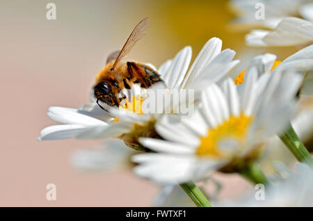 Macro of honey bee (Apis) feeding on white anthemis flower seen of profile - Stock Photo