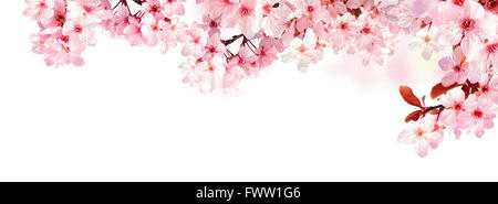 Dreamy cherry blossoms as a natural border, studio isolated on pure white background, panorama format - Stock Photo