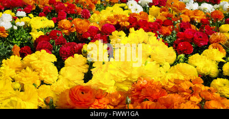 Flower bed in a garden with rows of buttercups in three different vibrant colors - Stock Photo