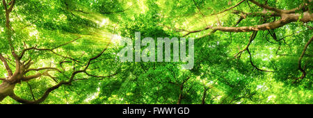 Sunrays shining through green leaves of high treetops in a beech forest, panorama format - Stock Photo