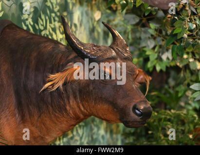 Head shot of a stuffed cape buffalo - Stock Photo
