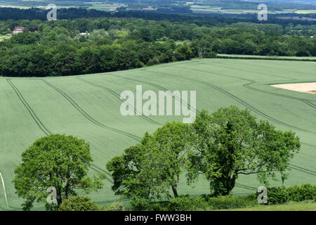 Looking down on a field of wheat in ear with clear tramlines and mature trees in fresh green leaf, Berkshire, June - Stock Photo