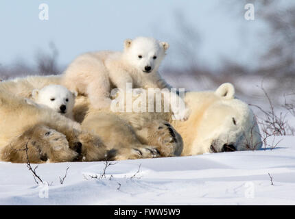 Twin polar bears playing on sleeping mother bear near Hudson Bay, Canada - Stock Photo