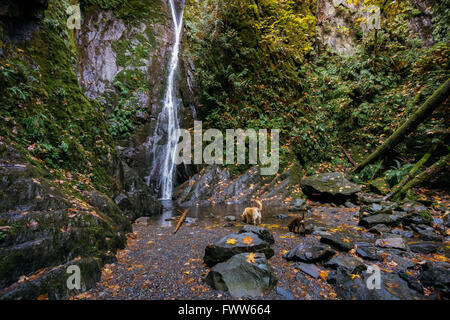 Two dogs take a drink at Niagara Falls in Goldstream Park, near Victoria, BC. - Stock Photo