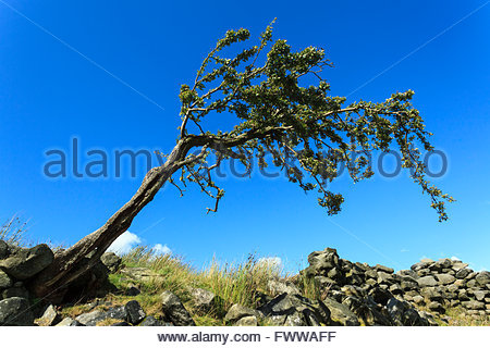 Hawthorn tree Stanbury Moor near Haworth West Yorkshire England UK - Stock Photo