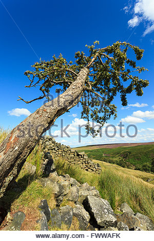 Hawthorn tree Stanbury Moor near Haworth West Yorkshire England UK - Stock Photo