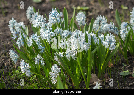 Puschkinia scilloides spring flowers blooming - Stock Photo