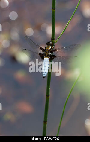 Male broad bodied chaser dragonfly, Libellula depressa, resting on a horsetail stem in a pond - Stock Photo