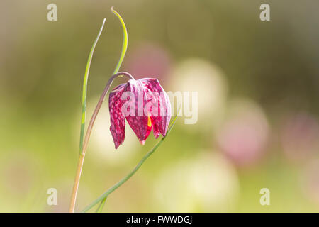 Close-up a pair of purple Fritillaria meleagris in a forest on a meadow with purple and white flowers on the background. - Stock Photo