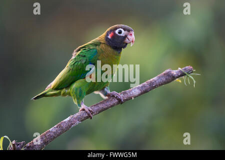 Brown-hooded Parrot (Pyrilia haematotis) perched on a tree branch, male, Heredia Province, Costa Rica - Stock Photo