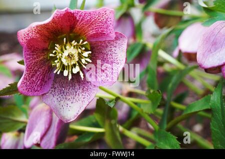 Purple flower of the helleborus hybridus (Christmas or Lenten rose) - Stock Photo