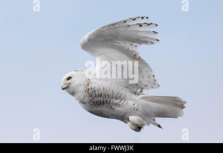 Snowy owls are stunningly beautiful in silent flight and in fierce hunting activity.  They are very strong with - Stock Photo