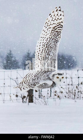 Snowy owl flying over winter field - Stock Photo